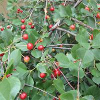 Кустарниковая вишня