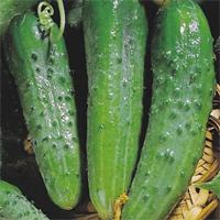 Самоопыляемые огурцы - сорт Зозуля