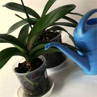 Прекращение полива орхидеи