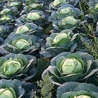 Посевы белокочанной капусты