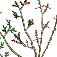 Прищипка ветвей смородины