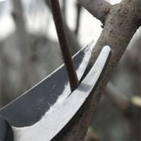 Прореживание ветвей вишни