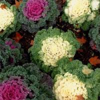Разноцветная декоративная капуста