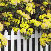 Желтые рододендроны