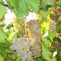 Виноград сорт Ркацители