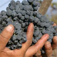 Виноград сорт Сапевари